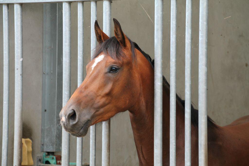 Opfok van paarden